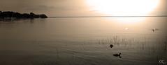 Mritz (SK snapshots) Tags: water see duck swan wasser schwan