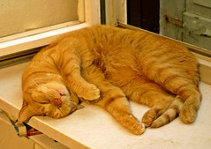 Wilma die rote Katze (emmendinger) Tags: rot digital wilma fotograf katze baden blackforest fell emmendingen breisgau fotoreporter brav dreilndereck sdbaden fortnoire sdschwarzwald fotojournalist verschmust digitalfotografie einzelgngerin kastriert peterkulpe digitalfotograf maximillianekatzefellkastrierteinzelgngerinbravverschmustmaximillianebiederbachweisskarobauernhofhasenstallportraitposengegenlichtunschrfekatzenbaumpfotefensterbanktigerfarbebreisgausdbadenfortnoiresd