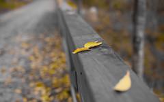 Yellow (mirgeam) Tags: light landscape 50mm madera nikon paisaje galicia amarillo otoo fullframe mio ff 50mmf14 ourense d700 mirgeam maegrim
