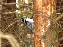 American Three-toed Woodpecker in the Town of Marathon, Ontario (Petroglyph) Tags: ontario canada lakesuperior christmasbirdcount borealforest americanthreetoedwoodpecker picoidestridactylus thunderbaydistrict townofmarathon