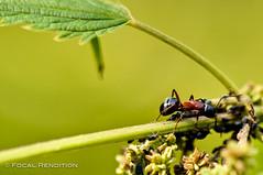 Tending His Flock (Matt.Hudon) Tags: macro insect nikon ant d90 nikkor105mmf28gvrmicro focalrendition