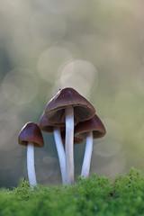 """Psathyrella conopilus"" (carlespoveda) Tags: macro nature mushroom fungi bosque fungus seta hongo champion bolet psathyrellaconopilus"