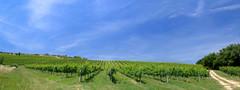 Agriturismo Niccolai  Azienda Agricola  Sentieri tra i Vigneti (Agriturismo Niccolai) Tags: tuscany sangimignano toscana toscane toskana agriturismo agriturismotoscana agriturismosangimignano agriturismoniccolai
