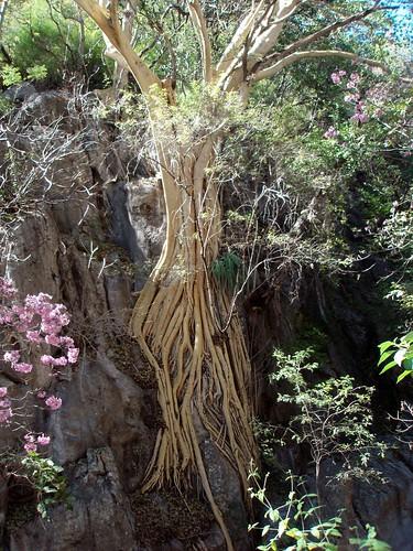 Raices del árbol amate amarillo - Amate Tree roots; entrada a las Grutas de Cacahuamilpa, Guerrero, Mexico