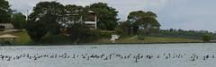 Lost city of Zs   .  .  . (ericrstoner) Tags: braslia xingu cormorant brasilia distritofederal parano bigu neotropiccormorant phalacrocoraxbrasilianus yawalapiti parqueindgenadoxingu lostcityofz percyharrisonfawcett setordemansesdolagonorte
