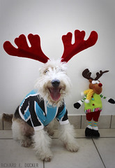 Feliz Natal / Merry Christmas (Richard E. Ducker) Tags: christmas dog natal de wire terrier fox wired pelo arame ruffus