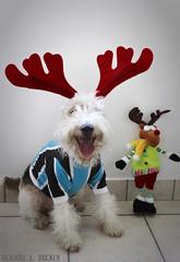 Feliz Natal / Merry Christmas (Richard E. Ducker) Tags: christmas dog natal de wire terrier fox wired pelo arame ruffus