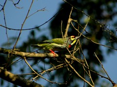 COPPERSMITH BARBET (santhoshgv) Tags: bird nature bangalore valleyschool urbanbirds don2 coppersmith barbet coppersmithbarbet uvce santhoshgv santhoshvijayanandaflickr gvpictures birdingplacesaroundbangalore
