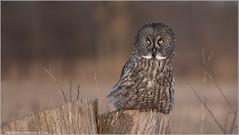 Great Grey Owl (Raymond J Barlow) Tags: ontario nature nikon wildlife adventure workshop owl leamington tours raymondbarlow