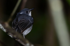 Little Slaty Flycatcher (Ficedula basilanica) (Bram Demeulemeester - Birdguiding Philippines) Tags: philippines mindanao philippinebirds bramdemeulemeester birdguidingphilippines philippinesbirdingtours littleslatyflycatcher ficedulabasilanica endemicphilippinesbirds