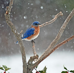 2012-02 (picturesinmylife_yls) Tags: winter snow bluebird bb specanimal coth5 201202 onlythebestofnature