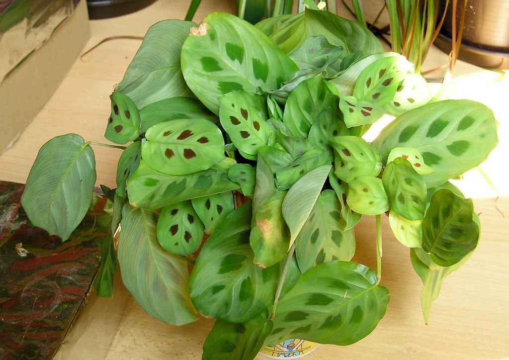 The world 39 s best photos of maranta and plant flickr hive - Hangepflanze zimmerpflanze ...