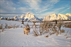 teton PRINCESS (laura's Point of View) Tags: winter dog pet snow mountains cold love bravo tetons grandtetonnationalpark lauraspointofview lauraspov