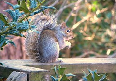 Mr Mumbles (ChicaD58) Tags: winter nature garden outdoors rodent backyard squirrel sitting eating critter windy chilly hungry railing picnik natureplus floraandfaunaoftheworld