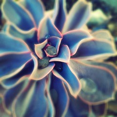 Echeveria (nudiehead) Tags: garden dewdrops succulent android droid echeveria phoneography flickroid droidography puddingphoto littlephoto