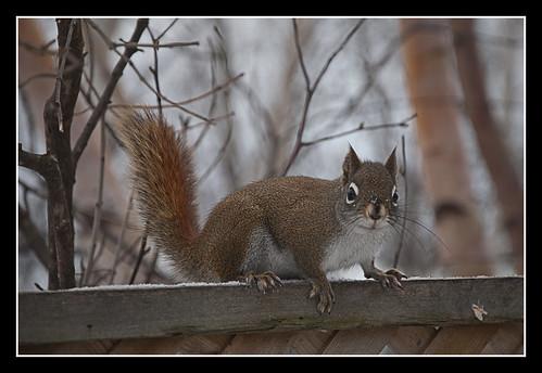 redsquirrel damongman