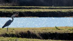 Airone (Michele -) Tags: birds bentivoglio larizza