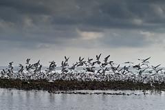 Seagulls Take Flight (HazardousTaste) Tags: ocean leica seagulls beach birds clouds rocks matthew lot malibu miller summicron f2 90mm seabird m9 11500 eatong