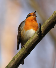 Singing Robin [Explored] (bojangles_1953) Tags: bird robin canon photo fairburn ings