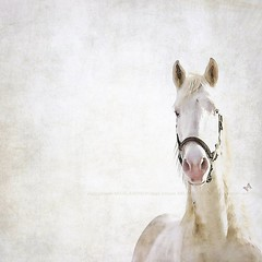 the watchful one ~ (4thebug (Angie Johnson)) Tags: horses thankyou watching xoxo gettyimage whitehorses angiejohnson 4thebug januaryinohio outforadrivetoday onthewaytoathensohio haveasweetsaturdaynighteveryone thewatchfulone myfirstsaleofaphotograph