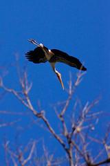 Lesser adjutant stork (LifeisPixels - Thanks for 4 MILLION views!) Tags: blue sky tree bird lens thailand sony telephoto lesser stork a77 55200mm f456 adjutant lifepixels sal552002 lifeispixels sonyalphathailand lifeispixelscom
