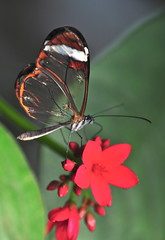 Glasswing (lclower19) Tags: nikon massachusetts cannon deerfield magicwings 500d diopter 18200mm d90 glasswing