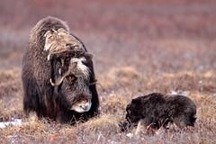 "Moschusochse mit Jungen, North Slope, Alaska • <a style=""font-size:0.8em;"" href=""http://www.flickr.com/photos/73418017@N07/6730326839/"" target=""_blank"">View on Flickr</a>"