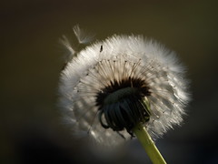 (myu-myu) Tags: flower macro nature field japan ngc fluffy dandelion panasonic taraxacum   dmcg3