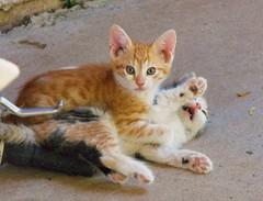 """""""Uncle!"""" (Callisto_Star) Tags: pet cats animal cat kitty kittens kitties"""