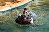 Trapani - Villa Comunale (Giacomo Gabriele) Tags: bird nature duck minolta sony natura uccelli beercan f4 sicilia 70210 trapani papera sonysti blinkagain