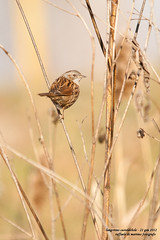 passero (taronik) Tags: natura uccelli animali passero canneto cacciafotografica blinkagain allofnatureswildlifelevel1