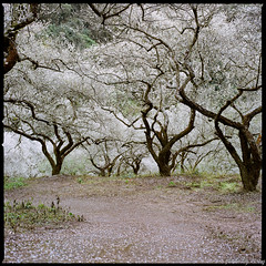 賞梅秘境-1 Plum Blossoms (Chieh-Yu) Tags: film taiwan hasselblad 南投 台灣 nantou shinyi 信義 攝團 facebookimpro