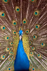 DSC01007.ARW (Flik_Fils 乐虎) Tags: barcelona blue brown white male green bird birds animals yellow spain colorful open feathers feather peacock catalonia espana colourful tails peacocks peacockfeathers barcelonazoo peacocktail peacocktailcolourful feliciarudolfo frudolfo filsrudolfo