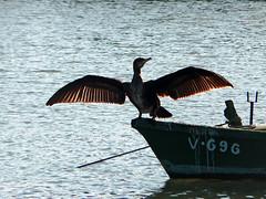 A este paso llego tarde a la fiesta (.Bambo.) Tags: barca ave alas animalia xquer cullera plumas lestany desembocadura jcar phalacrocorax cormorn phalacrocoracidae