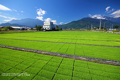 (nodie26) Tags: mountain green field canon landscape tour rice cole taiwan meter    hualien                        60d     taowam