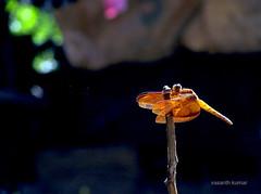 Dragon in light... (vas_k) Tags: light india nature insect dragonfly karnataka vask
