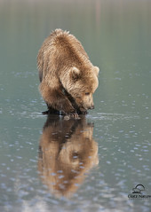 Vertical Reflecting Brown Bear (Glatz Nature Photography) Tags: reflection alaska predator clams carnivore brownbear grizzlybear specanimal lakeclarknationalpark alaska2010 allofnatureswildlifelevel1
