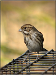 REED BUNTING (FEMALE) (Shaun's Wildlife Images....) Tags: birds shaund