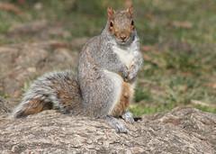 Squirrel in Lafayette Square Wed 25 Jan 2012  (18) (smata2) Tags: squirrel critter canoncanon40dwashingtondcdc canoncanon40dwashingtondcdcnationscapitalpennsylvaniaave
