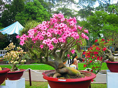 Frangipani flower (Plumeria rubra) (browneyes1971) Tags: flower dan festival spring tet tao lunarnewyear yearofdragon