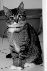 My cat in black and white (Viictor B) Tags: white black france colors beautiful look yellow cat jaune wonderful eyes feline chat europe flickr noir best toulouse mirada effect glance blanc regard yaourt yogourt unamourdechat planespotter31