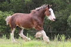 IMG_236 (Tried n True) Tags: portrait horse mare play free australia run nsw shire heavy herd stud trot canter gallop clydesdale kuiper foal thirlmere ingleside