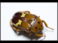 Anisorrhina lequeuxi (Mashku) Tags: nature beetle insects beetles coleoptera scarabeidae cetoniidae cetoniini cetoniine