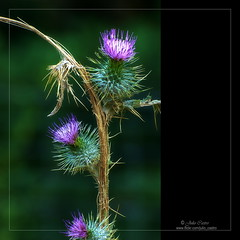 Flores espinosas (Julio_Castro) Tags: flores macro nikon sierra campo montaña senderismo navacerrada cardos nikond200