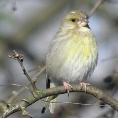 Female Greenfinch (Elisabeth (Kelev, Tama, Mazal)) Tags: male nature birds female garden greenfinch mannetje vrouwtje groenling