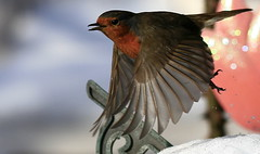 Just Took Off (SNAPDECISIONS !) Tags: robin wildlife avian wildbirds britishbirds thegalaxy birdphotos birdsofthebritishisles snapdecisions theworldofbirds birdsofbritonandeurope