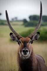 Desigual - Asymmetric (kaplan77) Tags: africa uganda waterbuck áfrica queenelizabethnationalpark kobusellipsiprymnus antílopeacuático parquenacionaldelareinaisabel