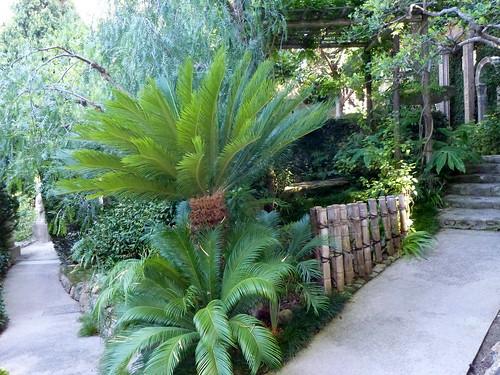 cyca revoluta no jardim japonês