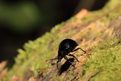 Walking in the tree (CamiSilver) Tags: macro peru nature bug insect walk beetle bark escarabajo coleoptera coleoptero endomychidae cucarron thechallengefactory