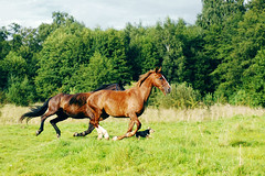 (wiwc) Tags: summer horses horse sun green grass spring wind konie canter gallop ko